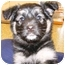 Photo 1 - Australian Shepherd/German Shepherd Dog Mix Puppy for adoption in Overland Park, Kansas - M & M Pups