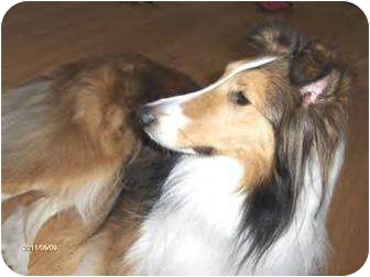 Sheltie, Shetland Sheepdog/Collie Mix Dog for adoption in Circle Pines, Minnesota - Sweet Mandy!