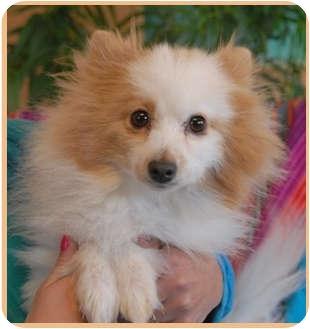 Pomeranian Dog for adoption in Las Vegas, Nevada - Fluffy