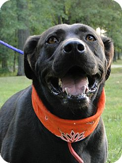 Labrador Retriever Mix Dog for adoption in Lewisville, Indiana - Maggie May