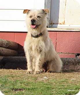 Cairn Terrier Mix Dog for adoption in Hagerstown, Maryland - Fraggle Rock
