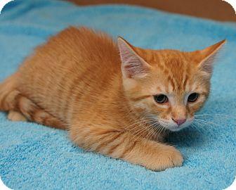 Domestic Shorthair Kitten for adoption in Houston, Texas - Seymour (So dashing!)