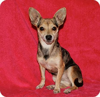 Chihuahua/Terrier (Unknown Type, Medium) Mix Dog for adoption in Lufkin, Texas - Reba