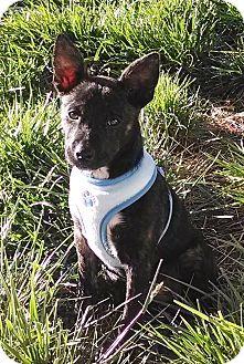 Australian Cattle Dog Mix Puppy for adoption in Las Vegas, Nevada - Puppy
