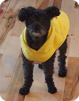 Poodle (Miniature) Mix Dog for adoption in Essex Junction, Vermont - ChiChi