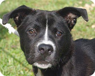 Labrador Retriever Mix Dog for adoption in Daytona Beach, Florida - Pooh Bear