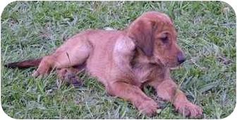 Catahoula Leopard Dog/Labrador Retriever Mix Puppy for adoption in Baton Rouge, Louisiana - Georgia