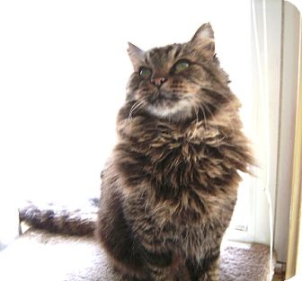 Maine Coon Cat for adoption in Oakland, California - Duncan