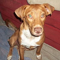 Labrador Retriever/Hound (Unknown Type) Mix Puppy for adoption in Miami, Florida - Tucker (352) 433-2331