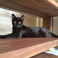 Domestic Shorthair Cat for adoption in Pacific Palisades, California - Fleetwood