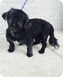 Shih Tzu Dog for adoption in Mount Pleasant, South Carolina - Madea