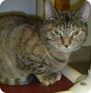 Domestic Shorthair Cat for adoption in Hamburg, New York - Cleo