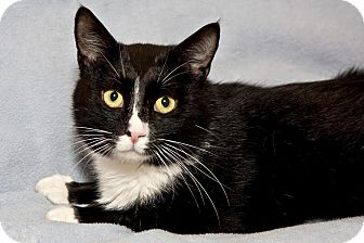 Domestic Shorthair Cat for adoption in Cashiers, North Carolina - Cosmo