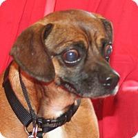 Pug/Beagle Mix Dog for adoption in Umatilla, Florida - Bumper