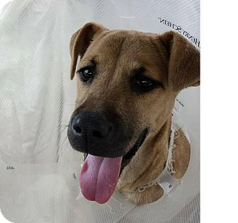 Black Mouth Cur/Shepherd (Unknown Type) Mix Dog for adoption in West Hartford, Connecticut - Buffy