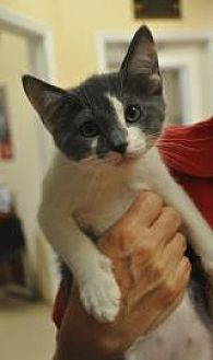 Domestic Shorthair/Domestic Shorthair Mix Kitten for adoption in Pompano Beach, Florida - Wisk