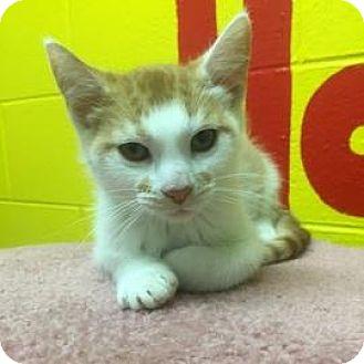 Domestic Shorthair Kitten for adoption in Janesville, Wisconsin - Piglet