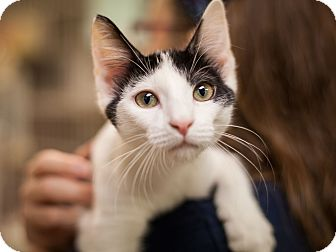 Domestic Shorthair Cat for adoption in Dallas, Texas - Domino