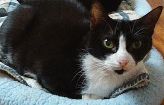 Domestic Shorthair Cat for adoption in Dallas, Texas - TOPENGA