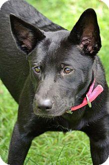 Australian Kelpie/Labrador Retriever Mix Dog for adoption in Albemarle, North Carolina - Carol