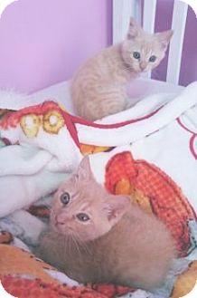 American Shorthair Kitten for adoption in Columbus, Ohio - Ginger & Bella