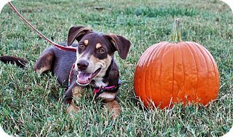 Australian Shepherd/Doberman Pinscher Mix Dog for adoption in Seneca, South Carolina - Dean $125