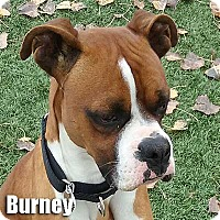 Adopt A Pet :: Burney - Encino, CA