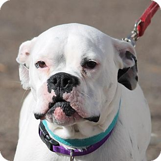 Boxer/American Bulldog Mix Dog for adoption in Denver, Colorado - Lucy