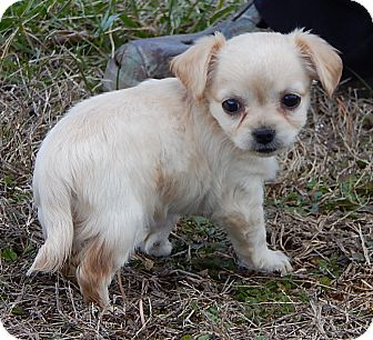 Chihuahua/Pomeranian Mix Puppy for adoption in Williamsport, Maryland - Princess (1.5 lb) Video!