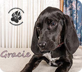 Bloodhound/Labrador Retriever Mix Puppy for adoption in Cincinnati, Ohio - Gracie