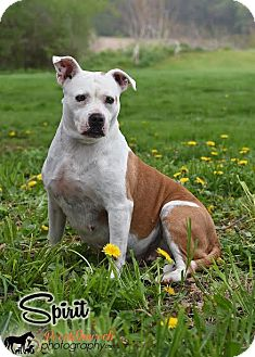 Boxer/Pit Bull Terrier Mix Dog for adoption in Broadway, New Jersey - Spirit