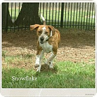 Beagle/Black and Tan Coonhound Mix Dog for adoption in Mt juliet, Tennessee - Snowflake