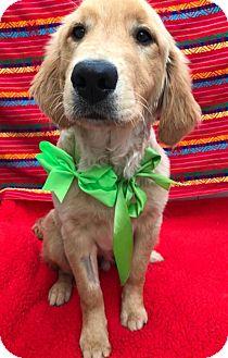 Golden Retriever Puppy for adoption in El Cajon, California - Prince (in adoption process)