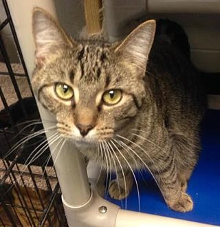 Domestic Shorthair/Domestic Shorthair Mix Cat for adoption in Anderson, Indiana - Darius