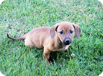 Dachshund/Terrier (Unknown Type, Small) Mix Puppy for adoption in Liberty Center, Ohio - Milton