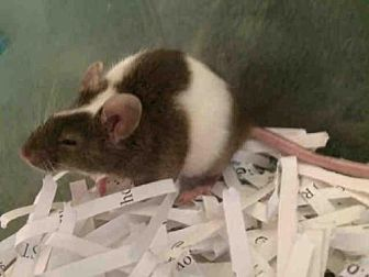Mouse for adoption in Urbana, Illinois - NESSA
