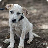 Adopt A Pet :: Emma $250 - Seneca, SC