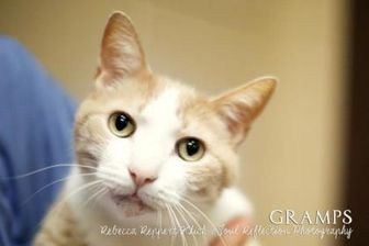 Domestic Shorthair/Domestic Shorthair Mix Cat for adoption in Appleton, Wisconsin - Gramps *Foster*