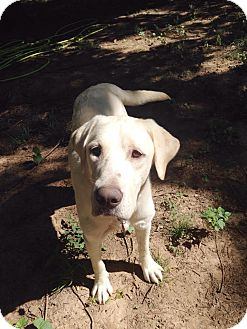 Labrador Retriever/Mixed Breed (Large) Mix Dog for adoption in Nanuet, New York - Omar