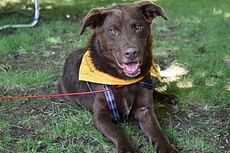 Chesapeake Bay Retriever Mix Dog for adoption in Providence, Rhode Island - Chester