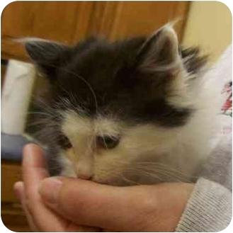 Domestic Longhair Kitten for adoption in Somerset, Pennsylvania - Wilma