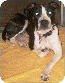 American Pit Bull Terrier Mix Dog for adoption in Rapid City, South Dakota - Gem