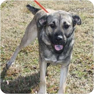 Shepherd (Unknown Type)/Norwegian Elkhound Mix Dog for adoption in Hamburg, Pennsylvania - Stella