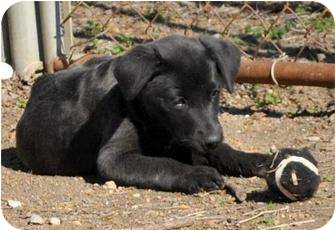 "Labrador Retriever Mix Puppy for adoption in Litchfield, Connecticut - Laila ""Silver Lab"""