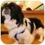 Photo 1 - Pekingese/Pekingese Mix Dog for adoption in Umatilla, Florida - Isabelle