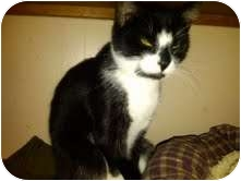 Domestic Shorthair Cat for adoption in Medina, Ohio - Fiona
