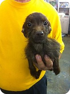Yorkie, Yorkshire Terrier/Poodle (Miniature) Mix Puppy for adoption in Lexington, Kentucky - Fishey