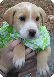 Boxer/German Shepherd Dog Mix Puppy for adoption in East Hartford, Connecticut - Cupid