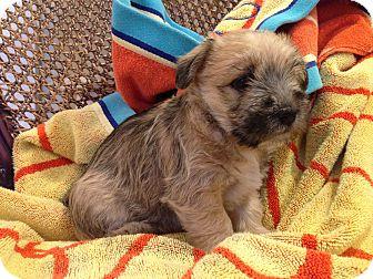 Schnauzer (Miniature)/Boxer Mix Puppy for adoption in Pennigton, New Jersey - Wanda