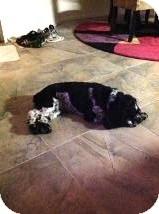 Cocker Spaniel Dog for adoption in Las Vegas, Nevada - Pepper
